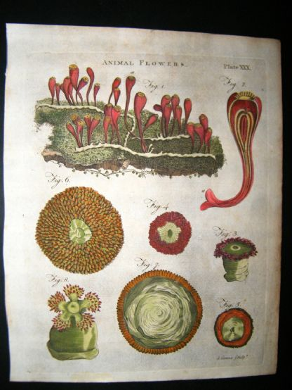Encyclopaedia Britannica C1790 Hand Col Botanical Print. Animal Flowers | Albion Prints
